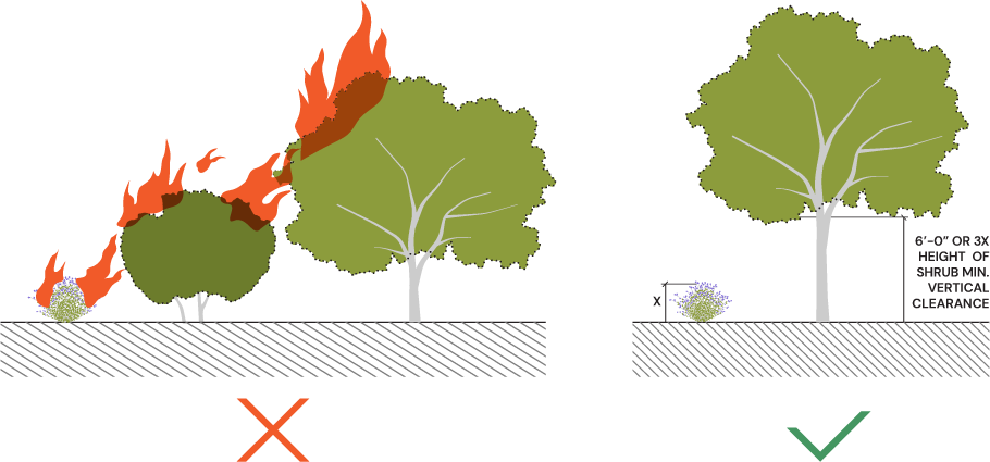 Diagram showing fire jumping from a shrib to a tree because of laddering effect.