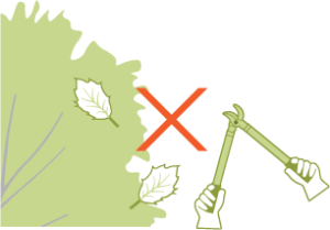 Icon of pruning loppers next to an oak tree. Oak trees are protected and permits may be required before pruning activities.
