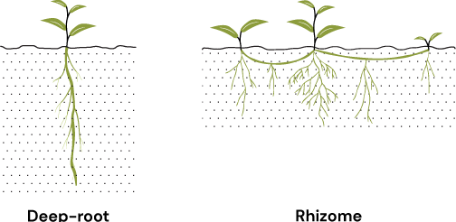Icons showing root systems. Deep-root plant on th eleft, and surface rhizome plants on the right.