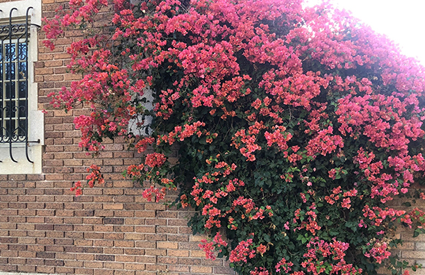 Photo Of Bougainvillea Growing On A Structure.