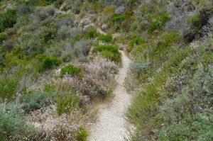 Photo of a hiking trail in California coastal sage scrub.