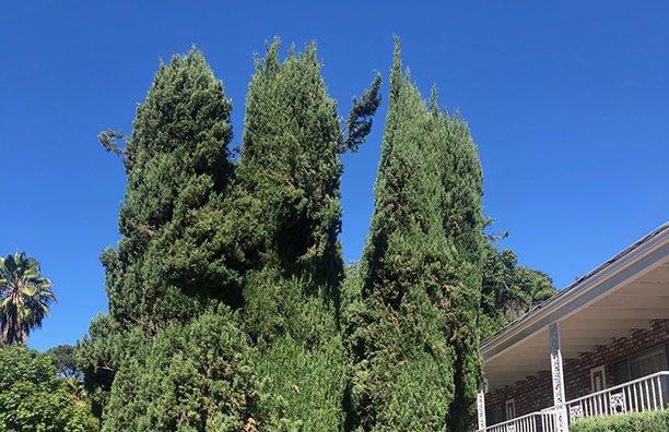 Photo Of Three Clustered Italian Cypresses.