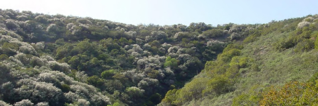 Photo of California chaparral landscape with white ceanothus.