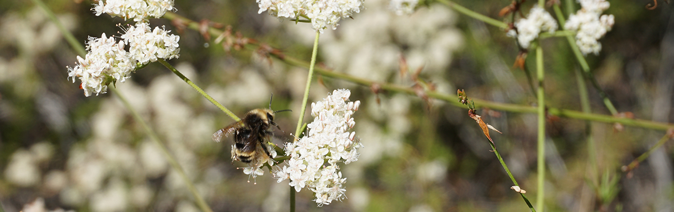 photo of a bumblebee