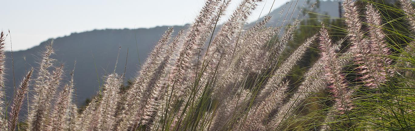 Photo of Fountain grass