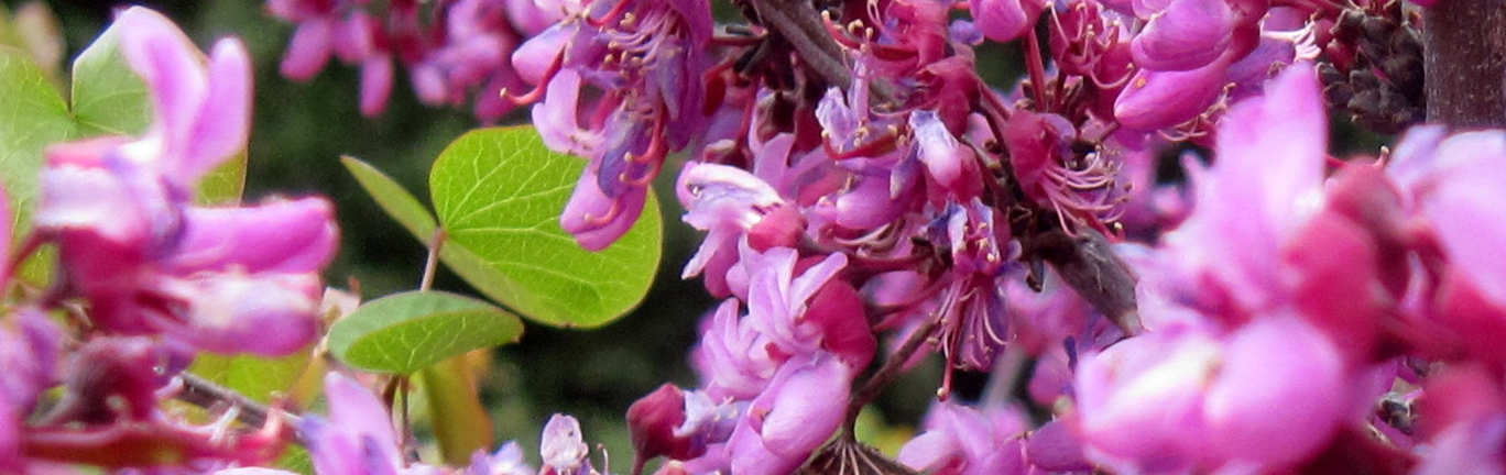 photo of California redbud flowers