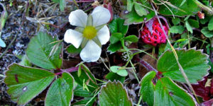Photo of wild strawberry