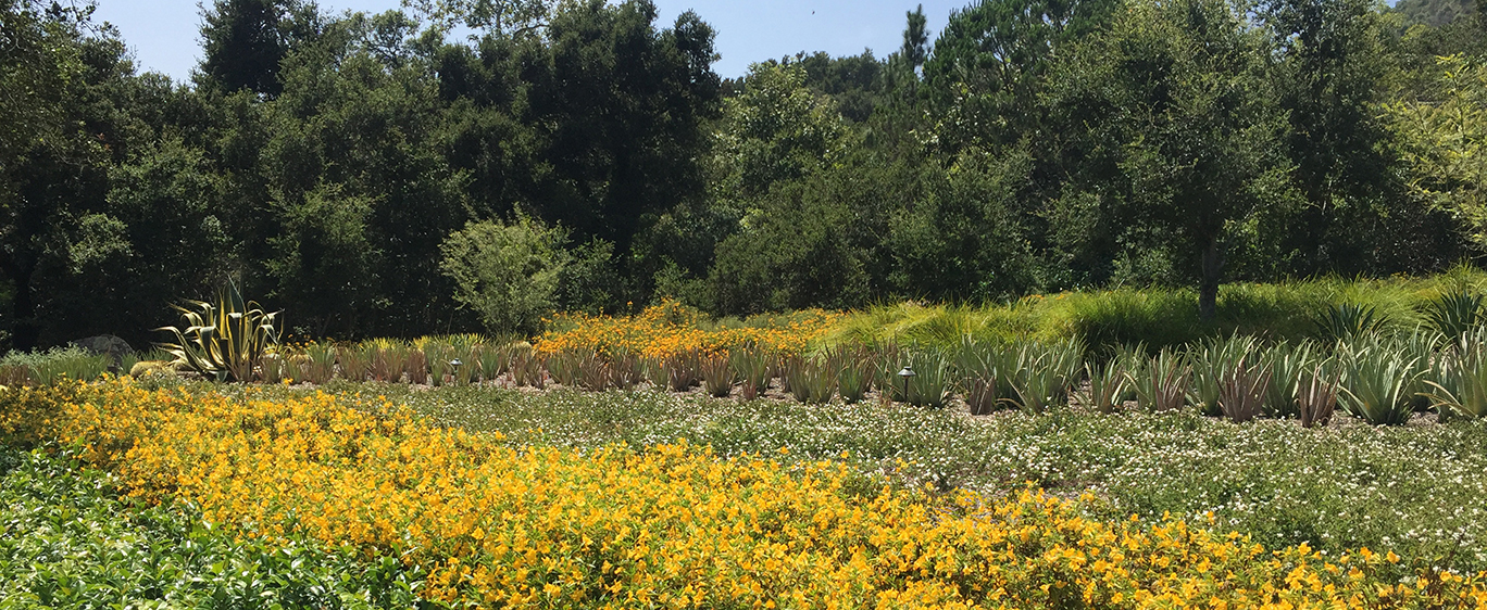 Photo of drought tolerant landscape with monkey flowers and aloe plants