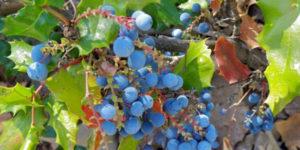Photo of Oregon grape
