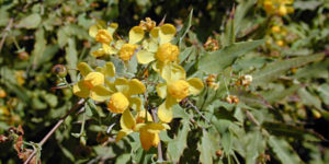 Photo of Nevin's barberry