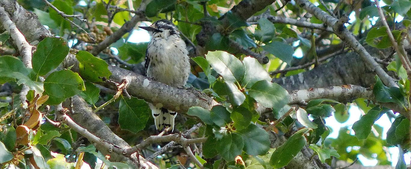 Photo of Nuttal woodpecker
