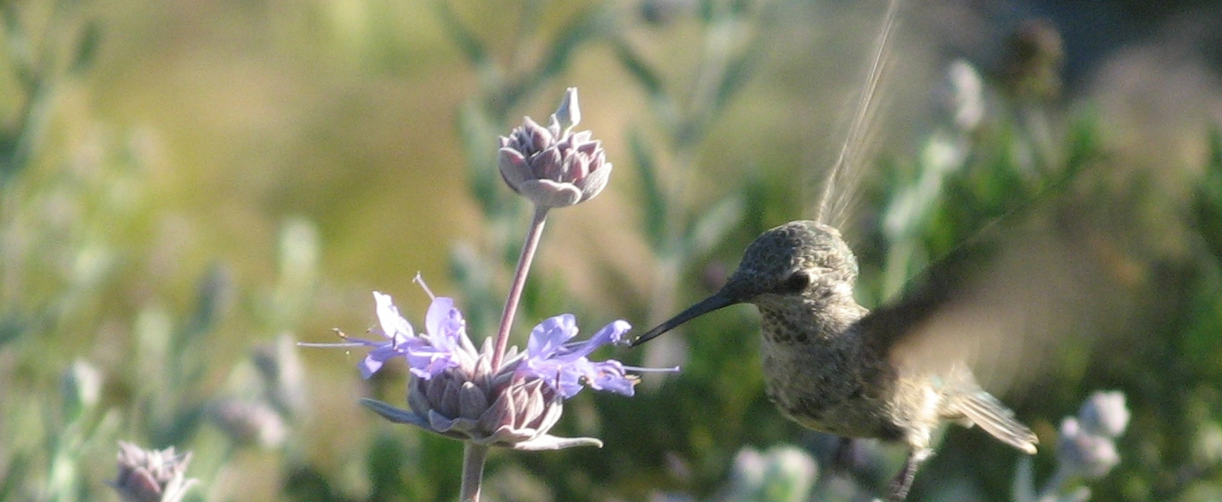 photo of a hummingbird and cleveland sage