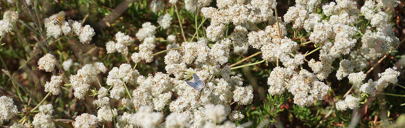 Photo of butterfly on California buckwheat