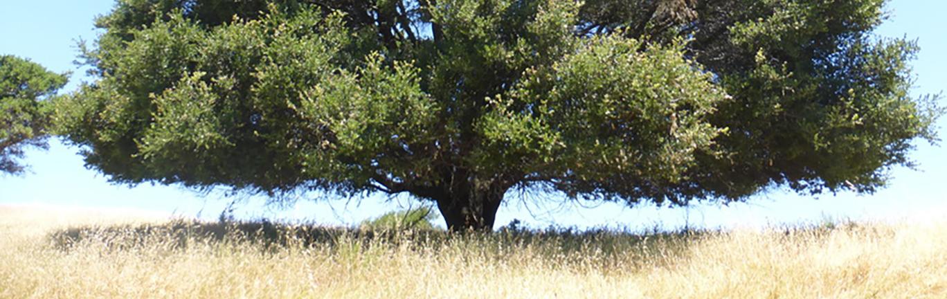 Photo of Coastal live oak